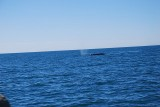 THAR SHE BLOWS -WE SIGHT OUR FIRST WHALE