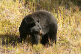 Black Bear in Kootenay National Park