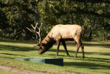 Bull Elk at the Fairmont Jasper Park Lodge