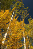 Aspens in Jasper National Park