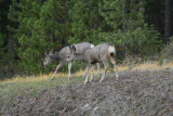 Mule Deer in Jasper National Park