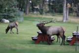 Bull Elk & his harem at the Fairmont Jasper Park Lodge