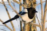 Common Magpie (Pica pica)