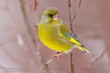 Greenfinch (Verdone)