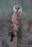 Long-eared Owl (Gufo comune)