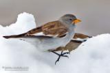 Snowfinch (Montifringilla nivalis)