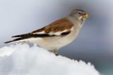 Snowfinch (Montifringilla nivalis)g