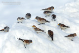 Snowfinches (Montifringilla nivalis) and Snow Buntings (Plectrophenax nivalis)