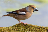 Hawfinch (Coccothraustes coccothraustes)
