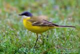 (Ashy-headed) Yellow Wagtail (Motacilla flava cinereocapilla)