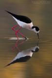 Black-winged Stilt (Himantopus himantopus)
