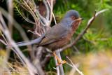 Dartford Warbler (Sylvia undata)