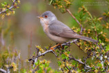 Moltoni's Warbler (Sylvia subalpina)