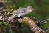 Olive-tree Warbler (Hippolais olivetorum)