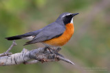 White-throated Robin (Irania gutturalis)