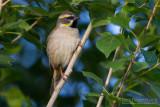 Dead Sea Sparrow (Passer moabiticus ssp mesopotamicus)