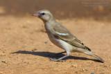 Yellow-throated Sparrow (Passera lagia golagialla)