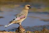 Desert Finch (Fringuello del deserto)