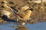 Desert Finch (Rhodopechys obsoleta)