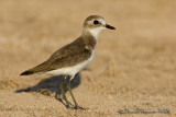 Lesser Sand Plover (Corriere mongolo)