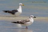 Heuglin's Gull (Larus heuglini ssp heuglini)