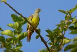 Bruce's Green Pigeon (Piccione verde pettogiallo)