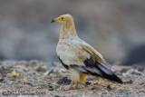 Egyptian Vulture (Capovaccaio)