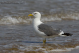 Heuglin's Gull  (Larus heuglinii - taymirensis type?)
