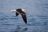 Baltic Gull (Zafferano del Baltico)
