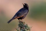 Tristram's Starling (Storno di Tristram)