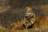 White-tailed Eagle (Aquila di mare)
