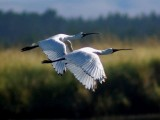 Bird Flight:  Estuary, Wetlands & Sea.