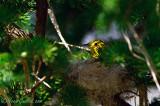 Paruline jaune au nid 05-09 #0841.jpg