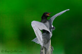 Guifette noire - Black Tern - 3 photos