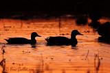 Canards colverts - coucher de soleil  #4446.jpg