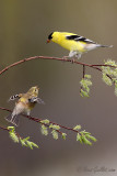 Chardonneret jaune - American Goldfinch - 12 photos