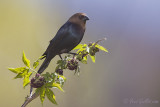 Vacher à tête brune - Brown-headed Cowbird - 4 photos