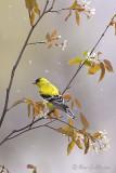 Chardonneret jaune mâle + fleurs + neige #8930.jpg
