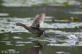 Grèbe à bec bigarré courant sur l'eau #0371 - 06-2010.jpg