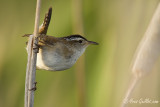 Troglodyte des marais - Marsh Wren - 2 photos