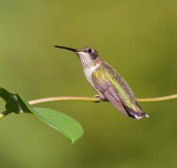 Juvenile Male Ruby-Throated Hummingbird Posing