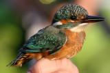 Kungsfiskare - Kingfisher (Alcedo atthis)
