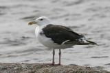 Havstrut - Great Black-backed (Gull Larus marinus)