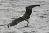 Havstrut Great - Black-backed (Gull Larus marinus)