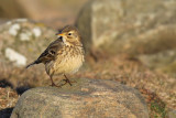 Hedpiplärka - Buff-bellied Pipit (Anthus rubescens)