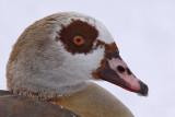 Nilgås - Egyptian goose (Alopechen aegyptiacus)