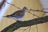Turturduva - Turtle Dove (Streptopelia turtur)