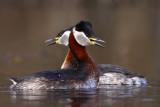 Gråhakedopping - Red-necked Grebe (Podiceps grisegena)