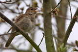 Näktergal - Thrush Nightingale (Luscinia luscinia)