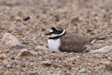 Mindre strandpipare -Little Ringed Plover (Charadrius dubius)